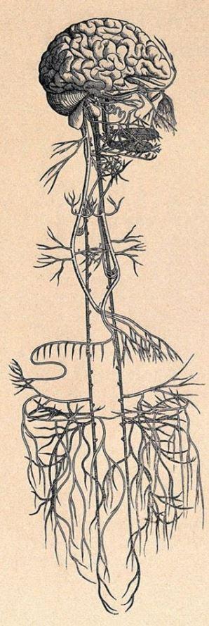 Nervo Vago Desenho Antigo